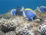 Diktorfische