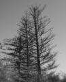 Die drei alten Bäume