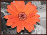 Blume/ s/w rot
