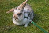 Kaninchen Widderdame