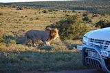 Löwen im Addopark